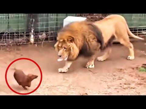Вопрос: Сколько мяса съедает тигр за неделю?