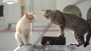 kucing Mabok Ngomong bahasa Jawa lucu (Asrika)