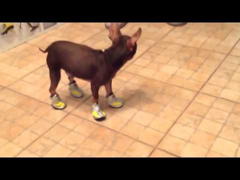 EIn Kleiner Hund Lernt Wie Man Schuhe Tragt