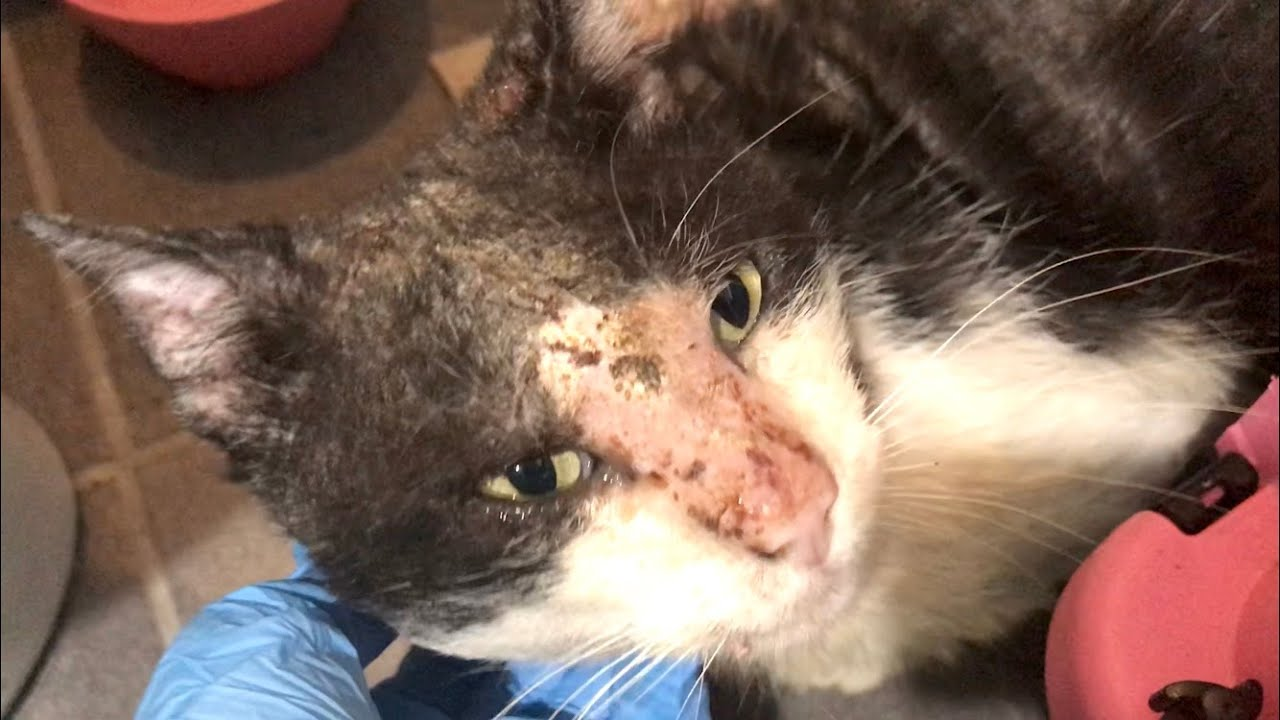 NEW Rescuing A Homeless Cat With Severe Mange - Saving Sylvester
