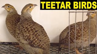 3 baby grey francolin teetar birds gorra