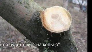 Как правильно спилить ветку?(Как правильно спилить ветку, чтобы дерево быстро затянуло рану и продолжало радовать нас урожаем долгие..., 2016-03-02T19:43:51.000Z)