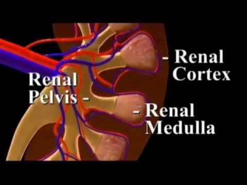 Kidney Nephrons.wmv