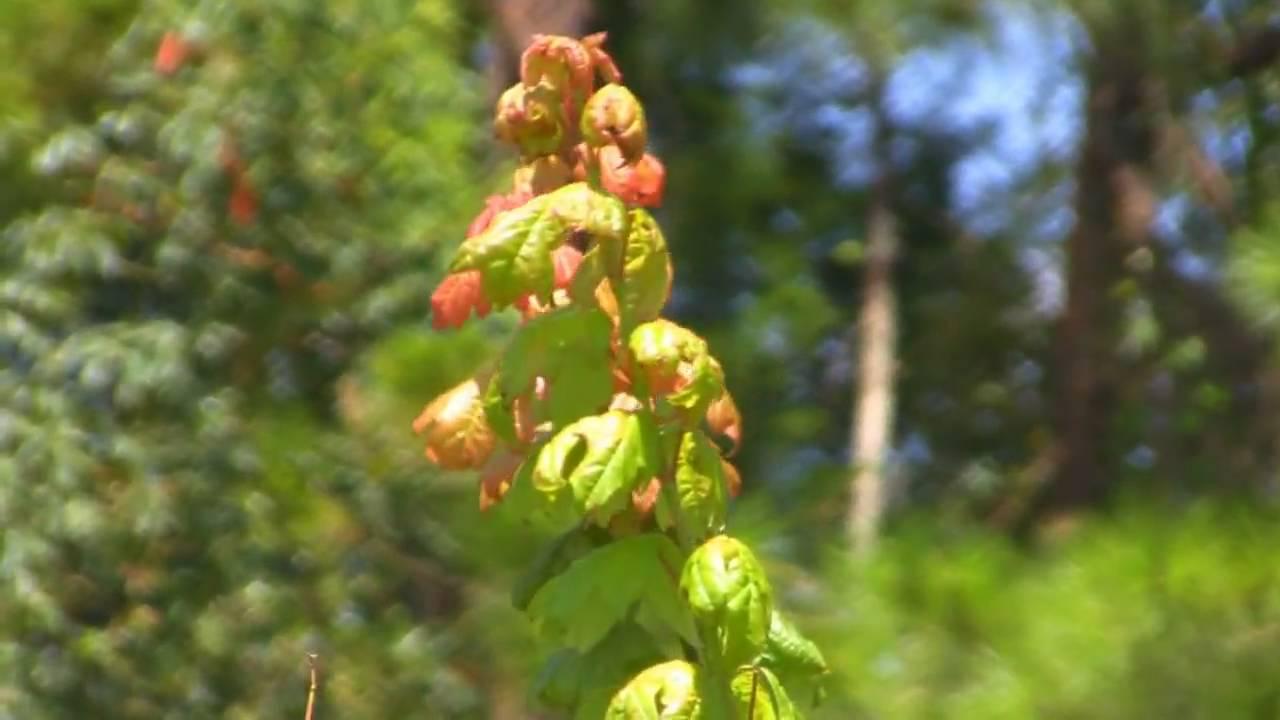 Florida Sugar Maple Tree Acer Barbatumunique Maple Syrup Youtube