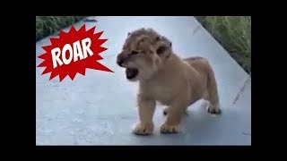This Lion Cub Trying to Roar is the Cutest Thing You Will Ever See!😍