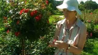 Новые сорта роз выращивают в Киеве
