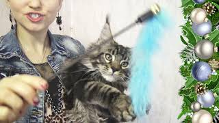 ЛИРИКУМ Жень-Шень играет - шикарный котик мейн-кун 3 месяца.