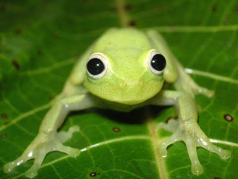 Frogs of Bolivia: Diversity of calls and colours