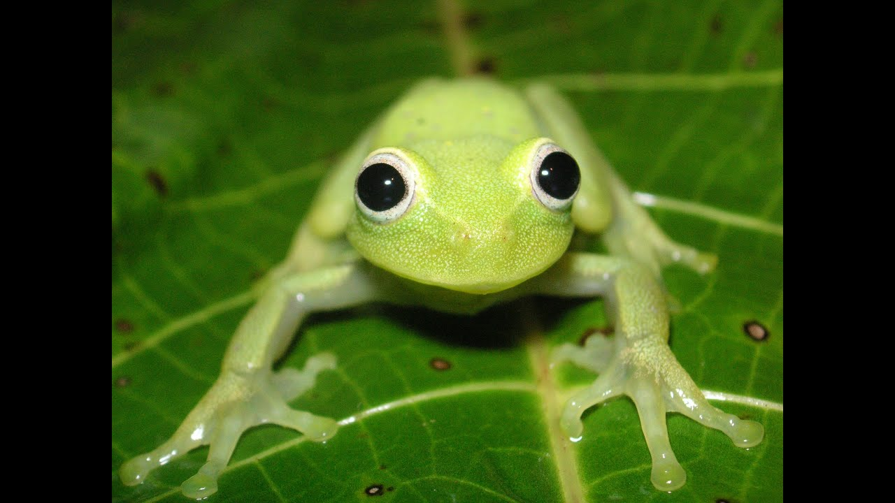 frogs of bolivia diversity of calls and colours youtube