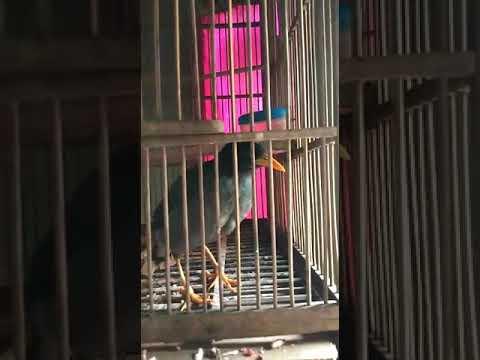 Burung jalak bisa ngomong CEWEK!!!