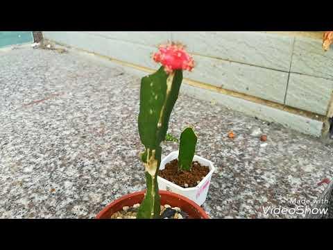 Grafting cactus mini. Tháp ghép xương rồng lem mini