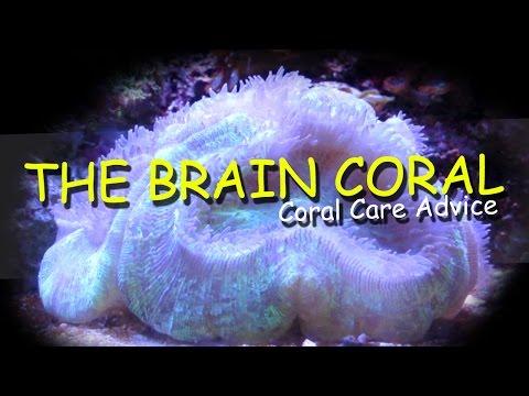 The Brain Coral - Coral Care