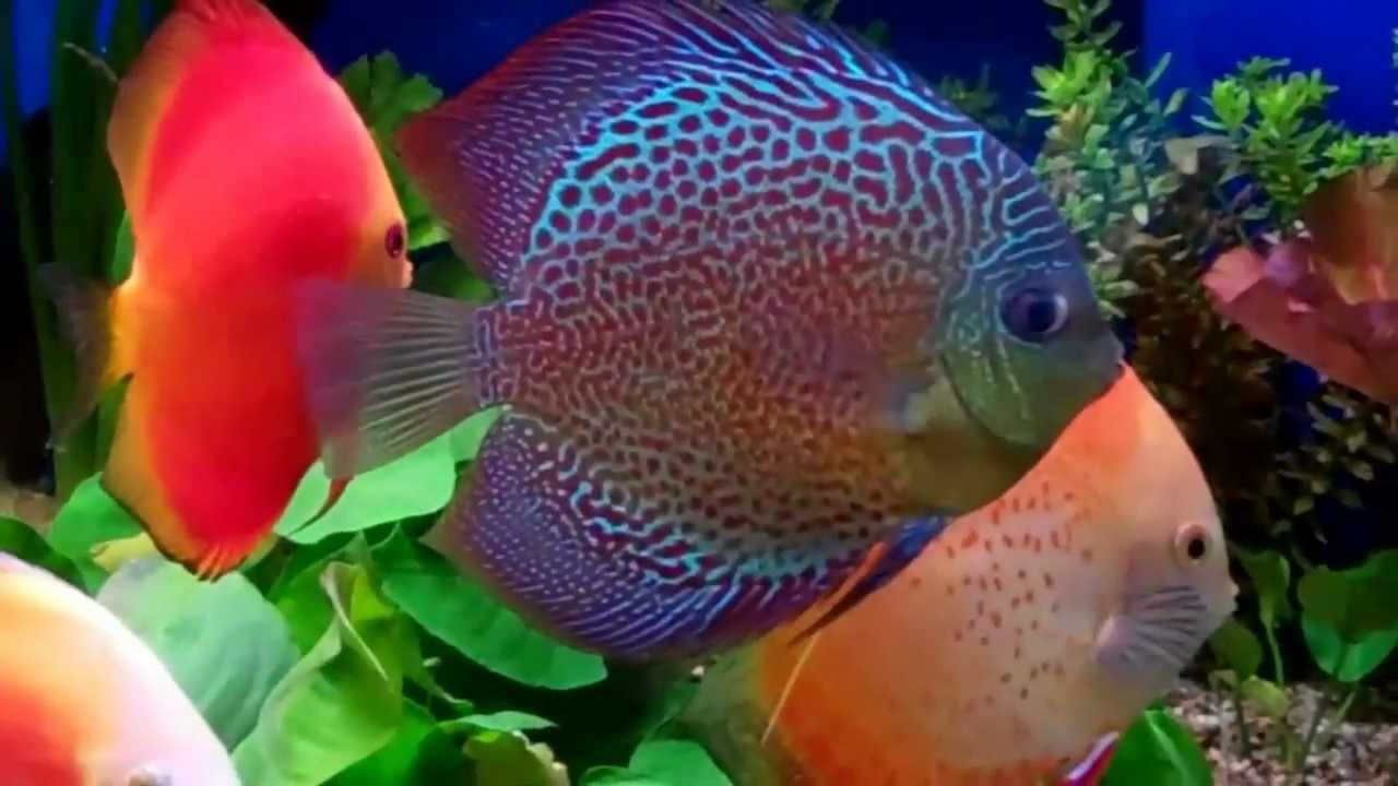 Freshwater aquarium fish vancouver - Beautiful Discus Aquariums West 796 Beatty St Vancouver B C 604 669 9249
