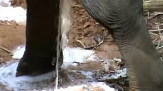 Слон писает