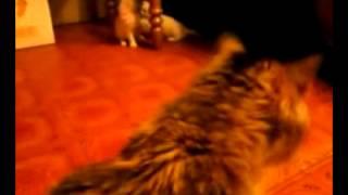 котята xvid
