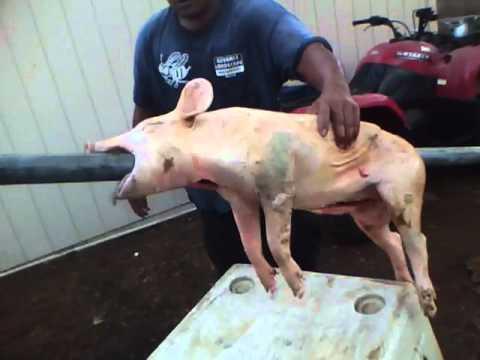 killing pig to roast part 4 pig on to roasting pole