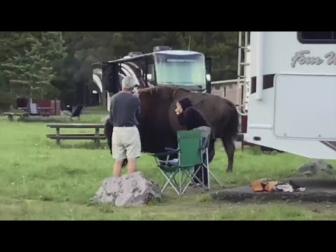 Anoka Family Witnessed & Helped Woman Gored By Bison At Yellowstone National Park