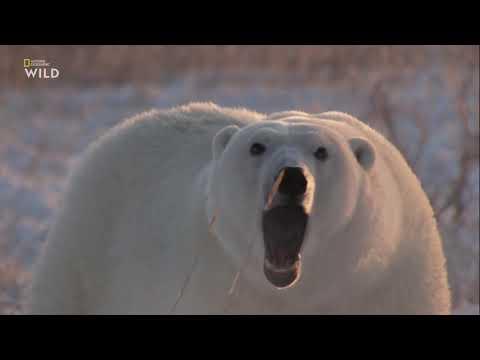 Nat Geo Wild: Дикие охотники 4 серия - Медведи