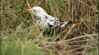 Stunning looking male leucistic Blackbird