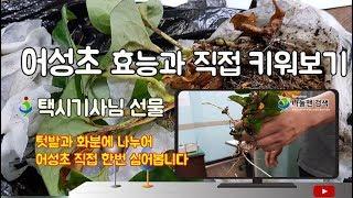 어성초 효능 키우기 도전 탈모예방 발모팩 어성초식초 나…