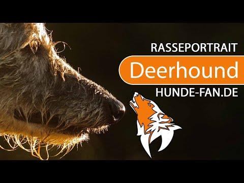 Scottish Deerhound [2018] Rasse, Aussehen & Charakter
