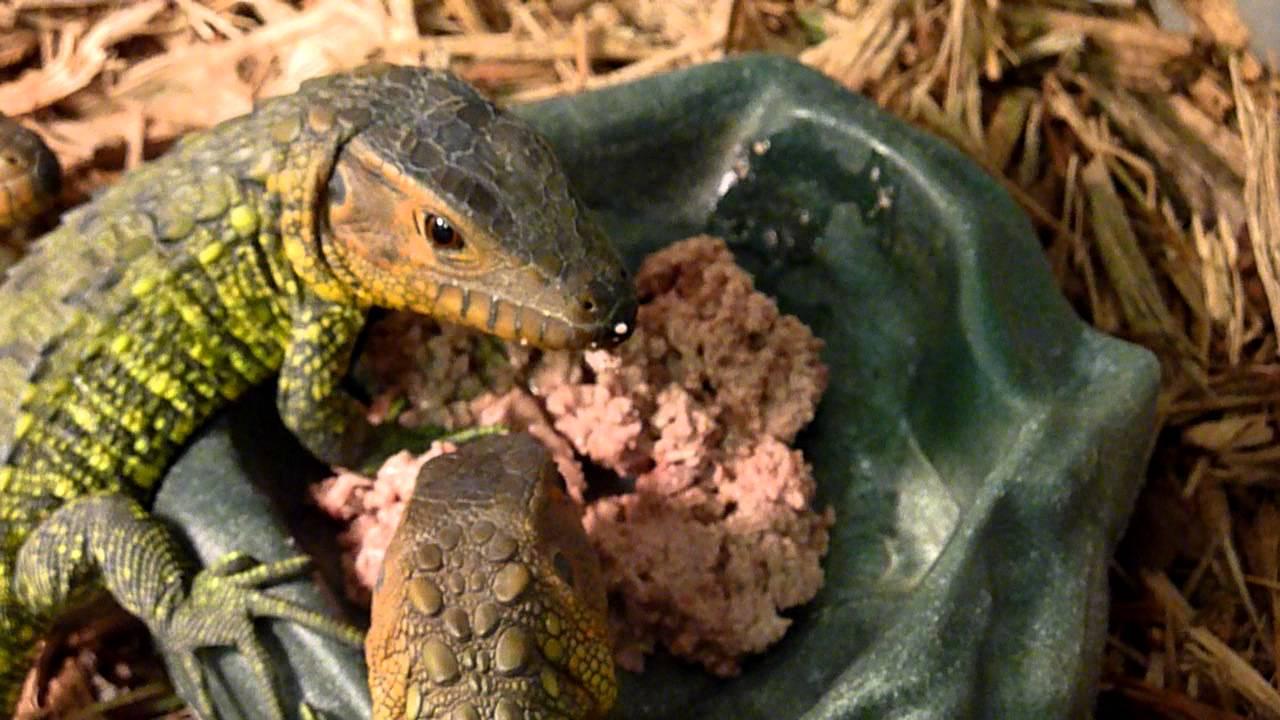 Baby Caiman Lizards Fe...