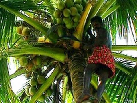 Coconut tree, Alappuzha