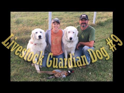 Livestock Guardian Dog Series - Video #9 - The Pheasant Intruder