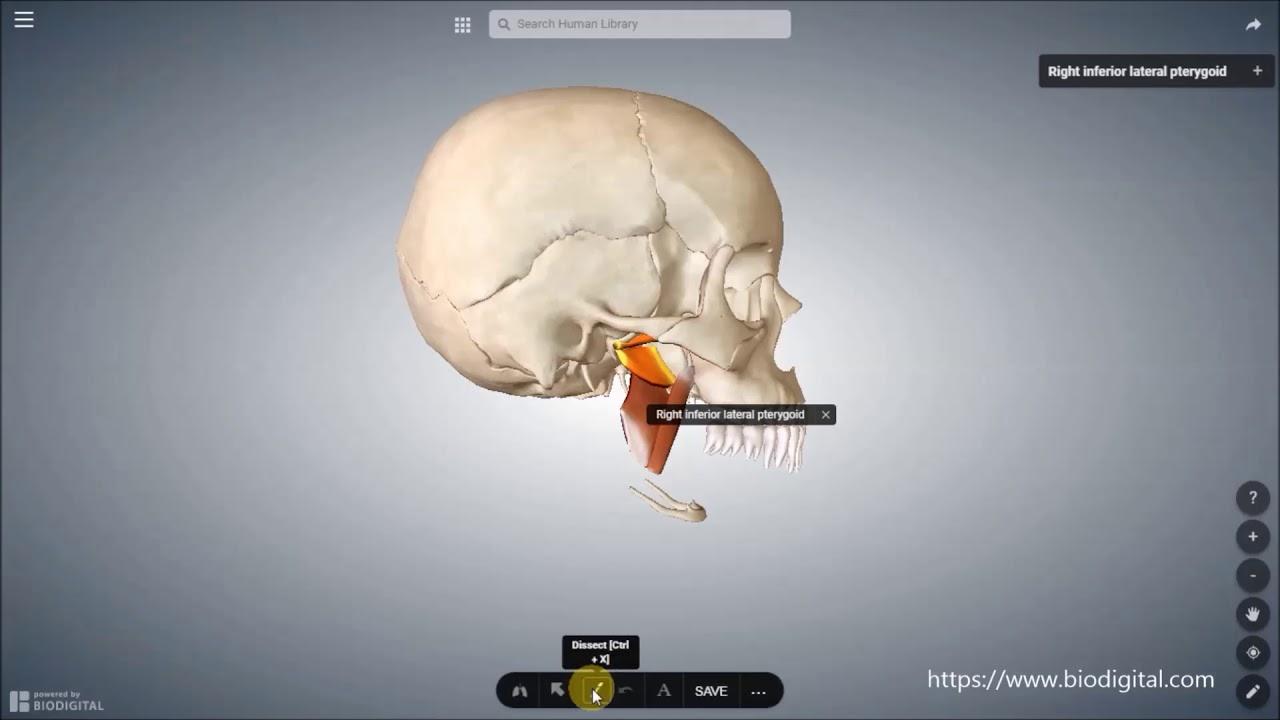 Atemberaubend Diagramm Der Gesichtsmuskeln Zeitgenössisch - Anatomie ...