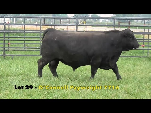 Black Gold Bull Sale Lot 29