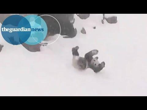 Panda bear rolls down snowy hill at Toronto zoo
