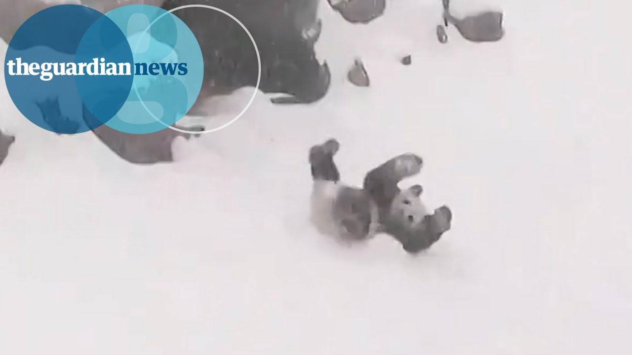 Panda Bear Rolls Down Snowy Hill At Toronto Zoo YouTube - This bear is rolling down a hill is having the time of his life