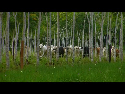 Exploitation Of Rubber- TvAgro por Juan Gonzalo Angel