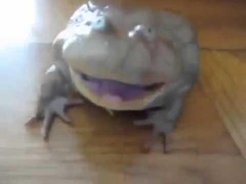 Жаба пищалка прикол