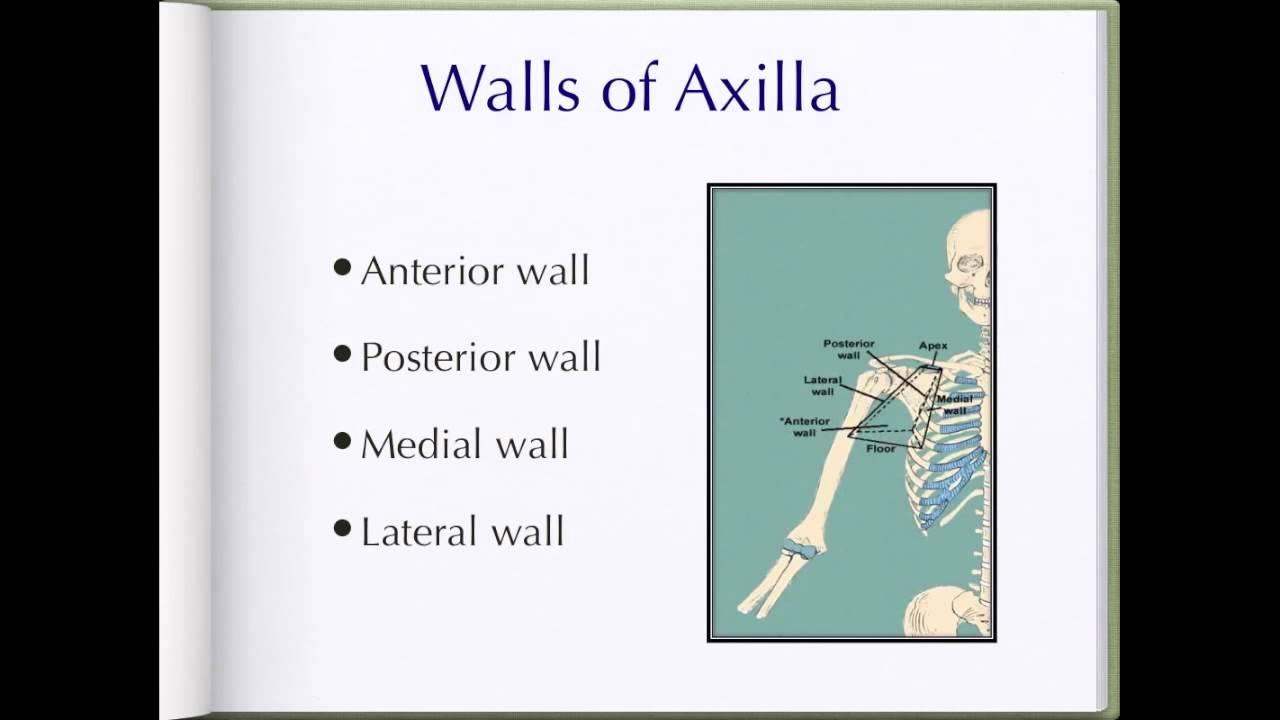Axilla anatomy - YouTube