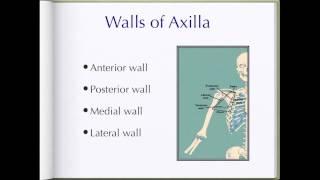 Axilla anatomy