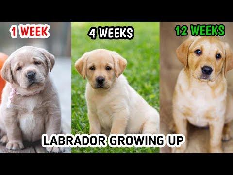 LABRADOR RETRIEVER GROWING UP 1 WEEK TO 12 WEEKS