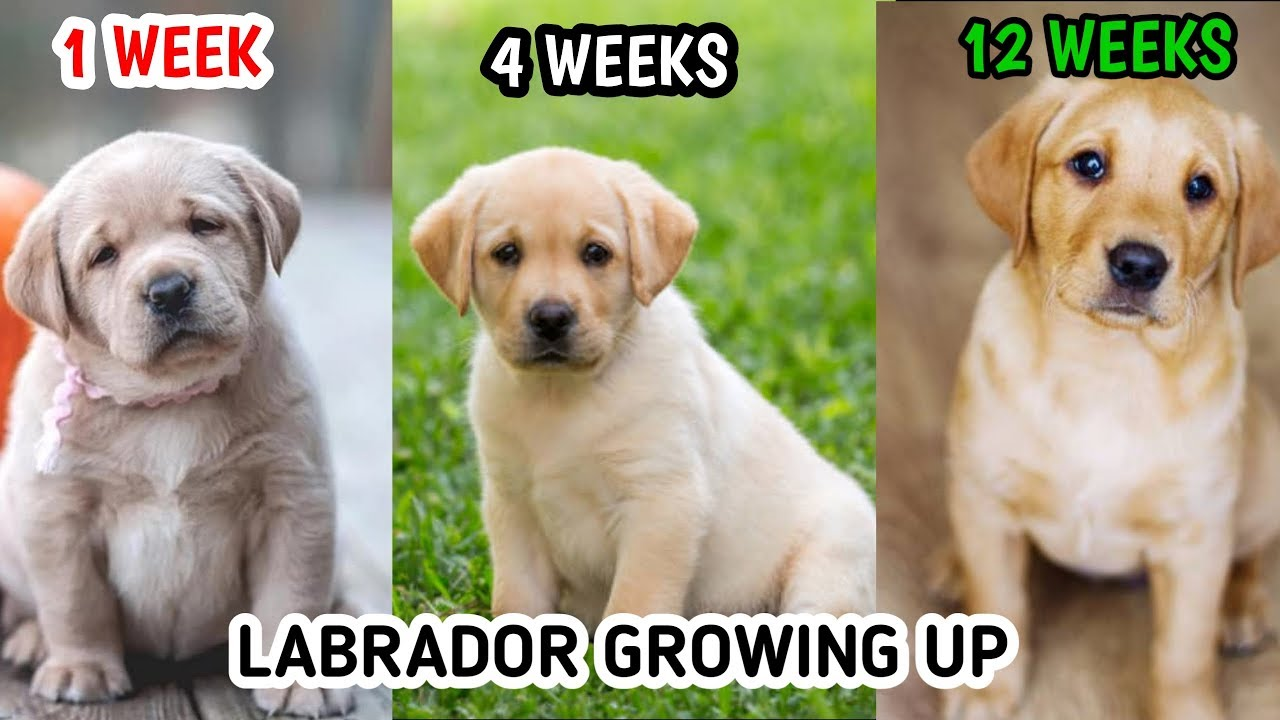 Labrador Retriever Growing Up 1 Week To