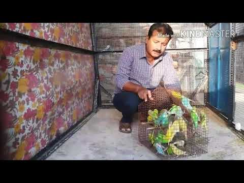 Australian parrots ki nayi colony naye budgies