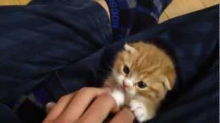 スコティッシュフォールド 仔猫