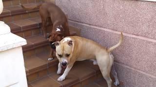 Pitbull Vs Boxer Vs Labrador