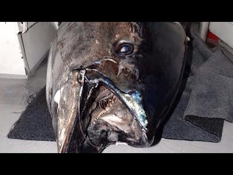 MEGA BLUEFIN TUNA vs MAN - YouFishTV NZ