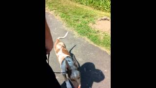 Loose Leash Walking And Auto-sit 3 Month Old Puppy