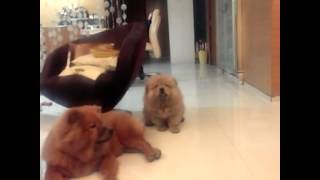 The Great Chow Chow Walk! #cutestpets