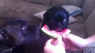 Pug And A Staffy Share A Watermelon