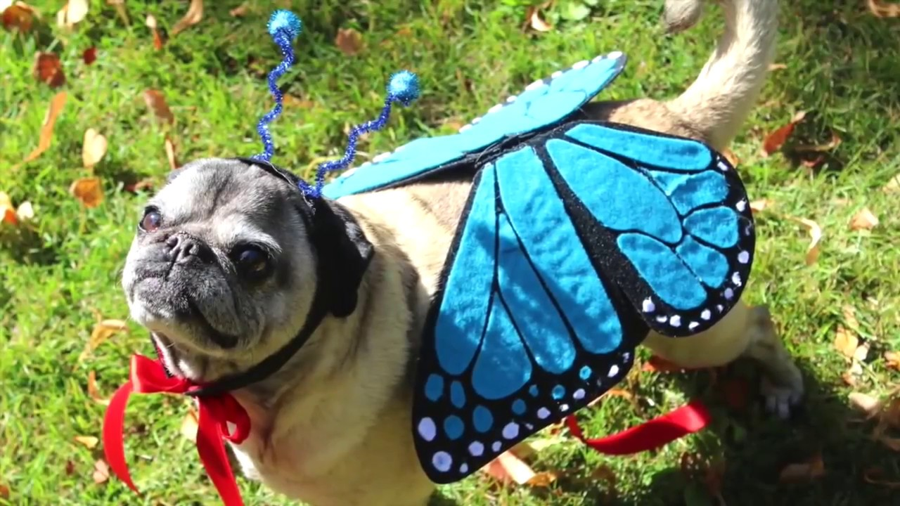 How To Make A Butterfly Costume for Dogs! - YouTube
