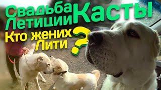 Как повязать Алабая // Среднеазиатская овчарка