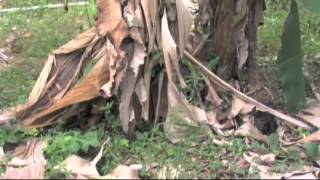 ICA: Mal de Panama