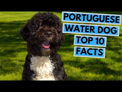 Portuguese Water Dog - TOP 10 Interesting Facts