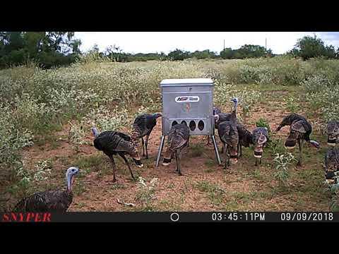 Wonderful Rio Grande Turkeyu0027s At The Feeder